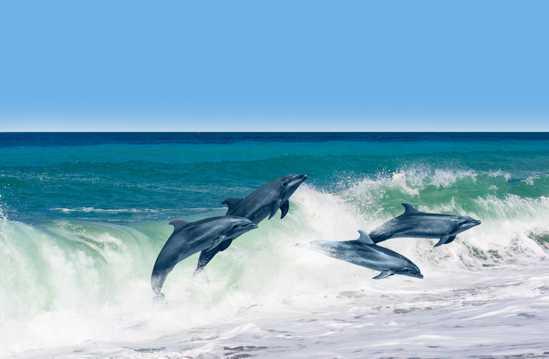 大海中的海豚图片