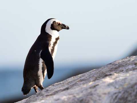 呆萌大企鹅图片