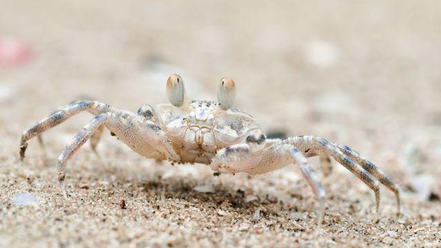 白色的螃蟹
