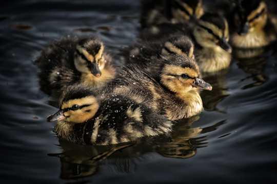 水里游泳的小鸭子图片