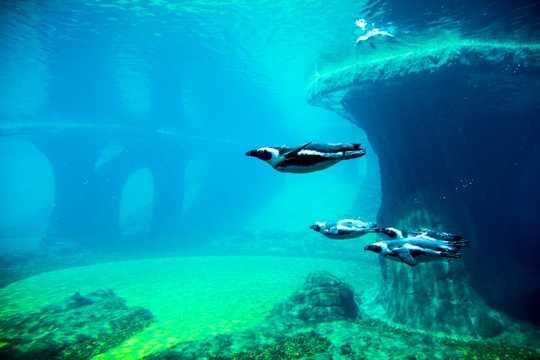 一群企鹅游泳图片