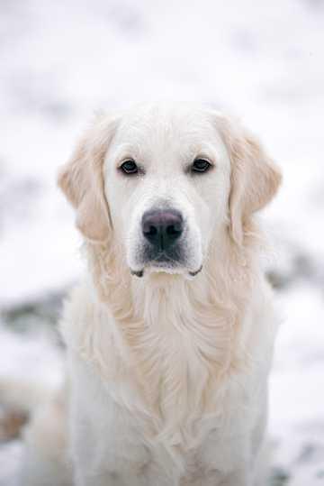 白色呆萌的金毛犬