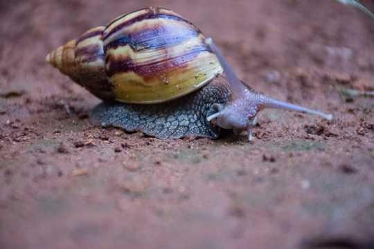 巨型非洲大蜗牛图片