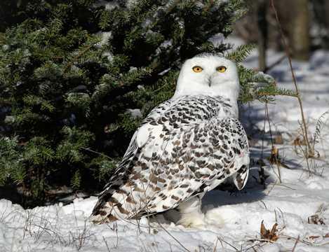 雪地里的猫头鹰图片