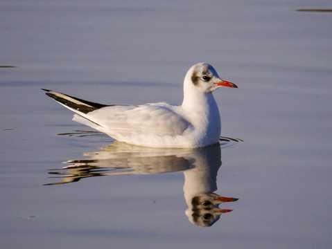 海鸥游泳图片