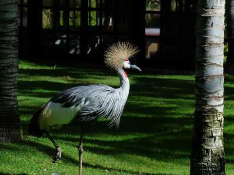 可爱的灰冠鹤图片