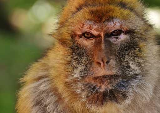 聪慧乖巧的巴巴利猕猴图片