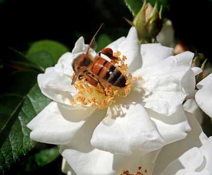 白玫瑰上的蜜蜂图片