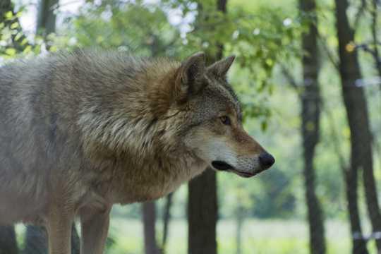 蒙古原野狼的图片