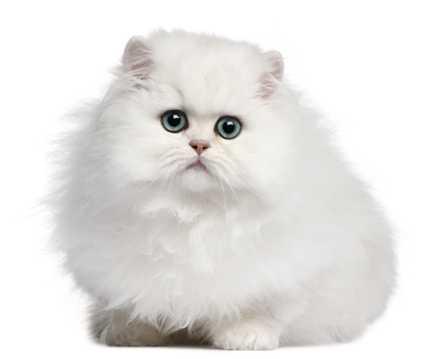 乖巧的萌猫图片