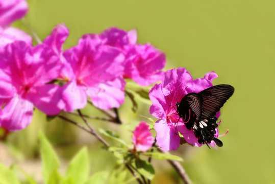 杜鹃花上的蝴蝶图片