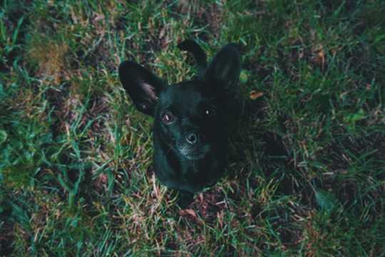 黑色小狗品种图片