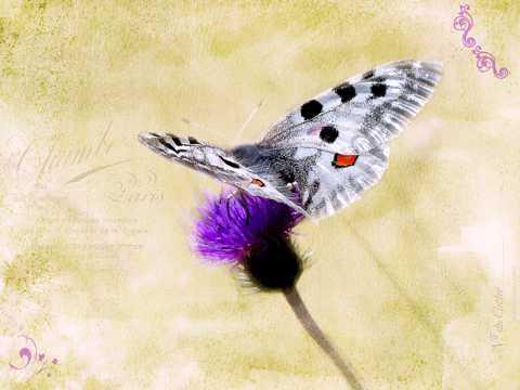 阿波罗绢蝶唯美图片