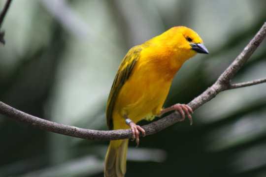 黄色牡丹鹦鹉图片