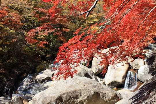 秋季红枫山涧图片