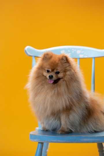 棕色的博美犬图片