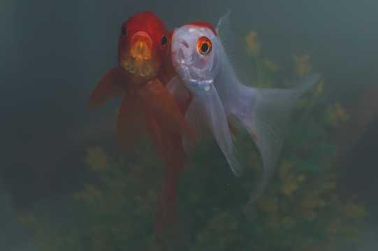 水中两条金鱼图片