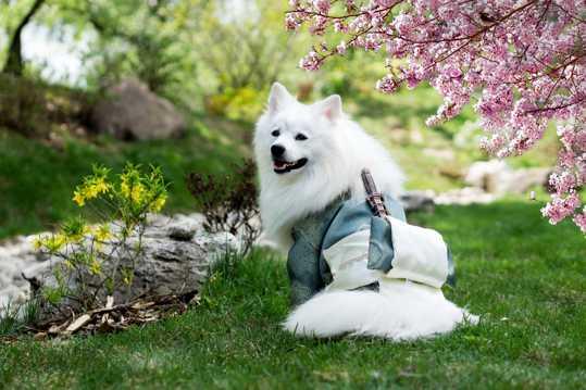 白色银狐犬图片
