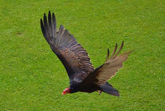 黑色老鹰展翅图片