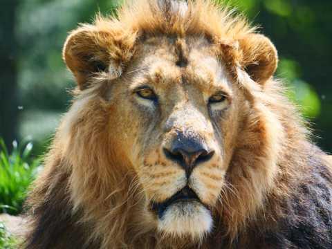 凶猛狮子肖像图片