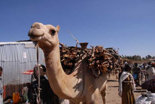 一匹呆萌的骆驼图片