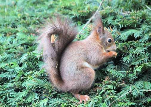 树丛里可人松鼠图片