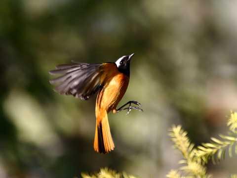 北红尾鸲展翅图片