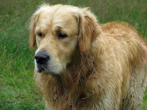 美式金毛犬图片
