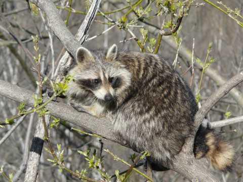 树枝上的浣熊图片