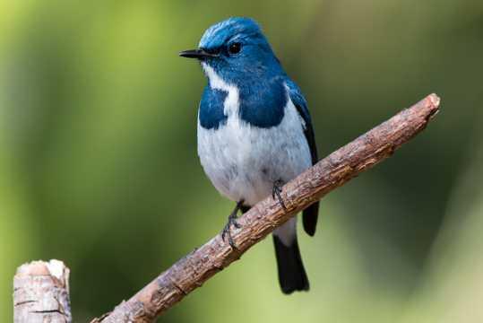 树枝上蓝色鸟图片
