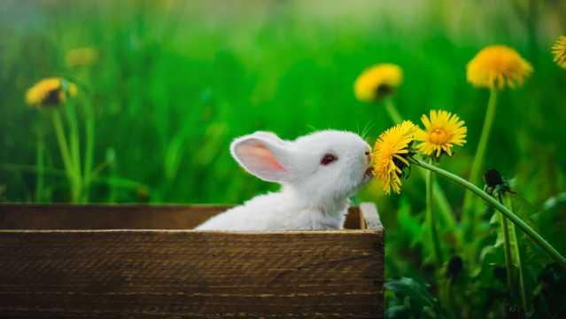 兔子闻花香图片