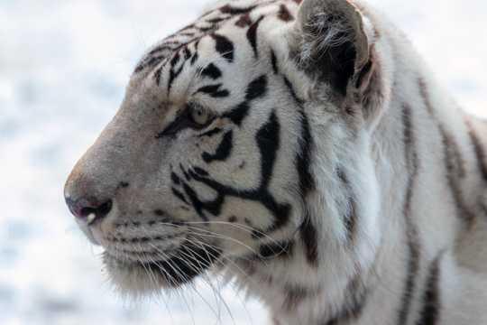 白老虎头部特写图片