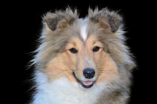 可人牧羊犬肖像图片