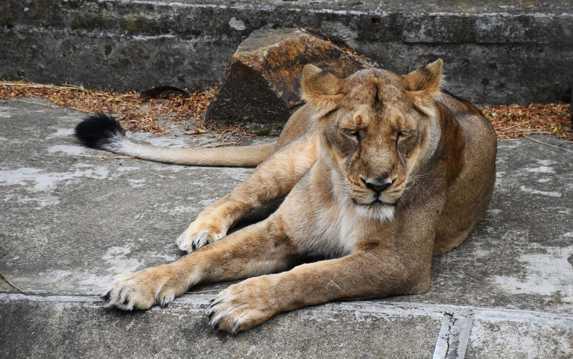母狮子睡觉图片