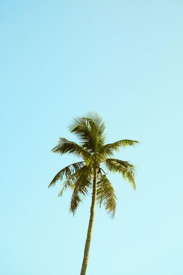 一棵棕榈树图片