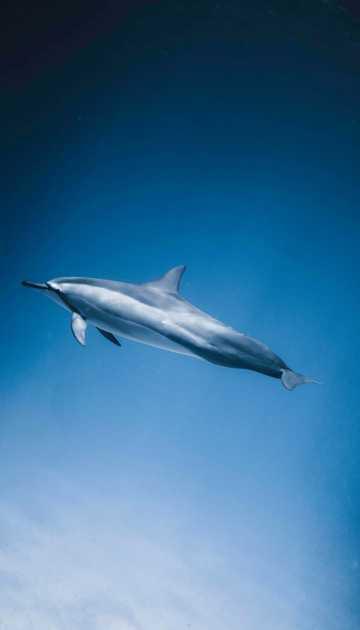海豚在海里游泳图片