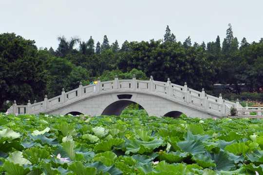 广东佛山三水荷花世界自然风光图片