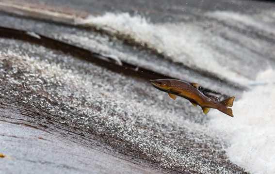 海中跳跃的三文鱼图片