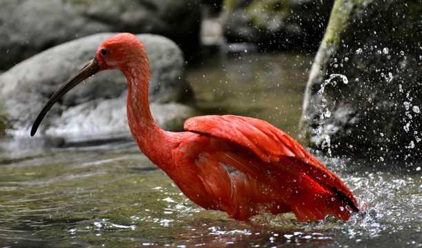 红鹮戏水图片