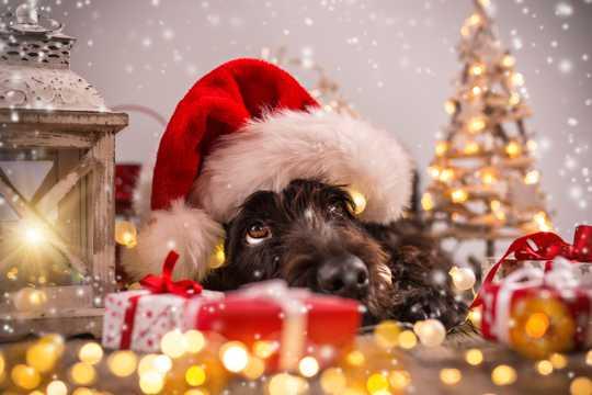 圣诞节黑色的汪星人图片