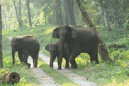 三只野生大象图片