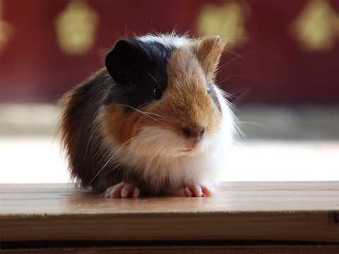 荷兰小豚鼠图片