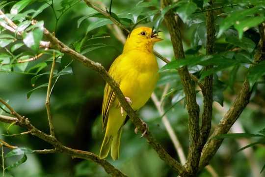 枝头上金丝雀鸟图片