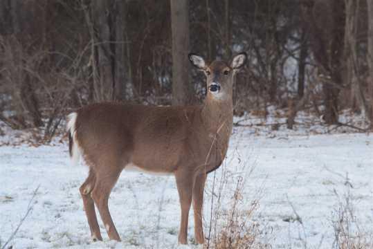 室外野生獐鹿图片