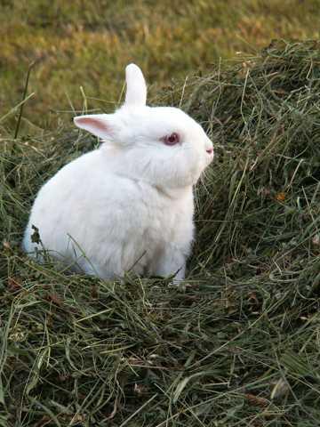 白色兔子图片