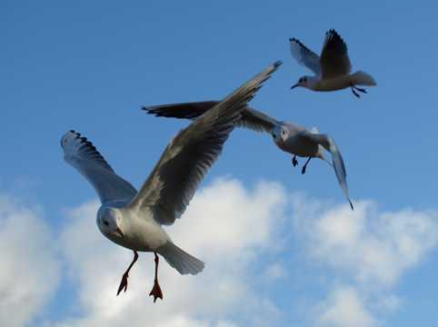 蓝天下展翅海鸥图片