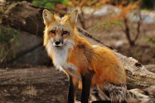 美丽的狐狸图片