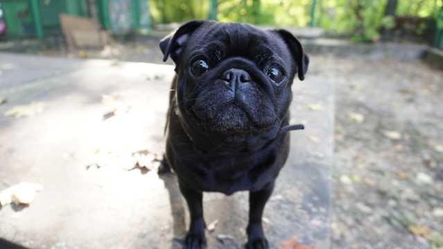 黑色哈巴狗图片