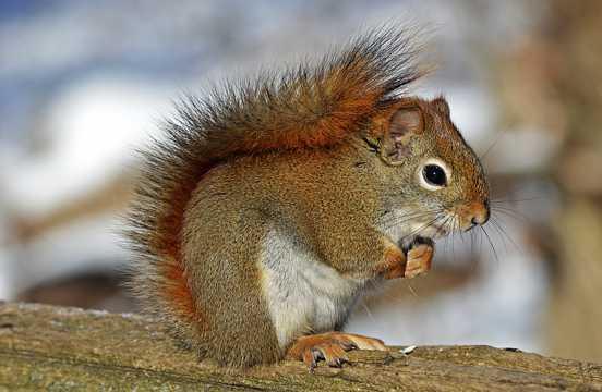 可爱红松鼠图片