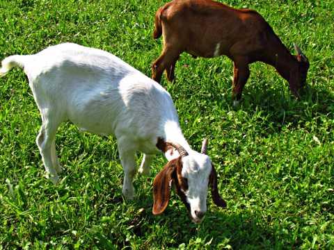 羊儿吃草图片